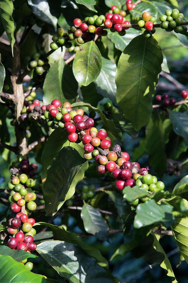 Coffee Farming. Northern Thailand Photograph by Eitan Simanor