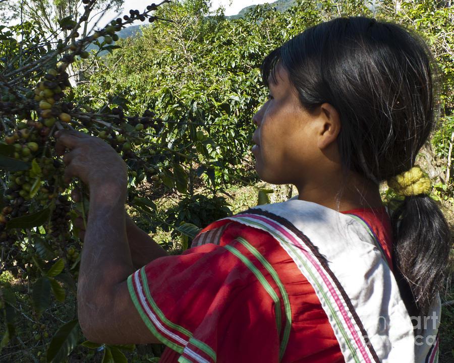 Panama Photograph - Coffee Harvest Time 3 by Heiko Koehrer-Wagner