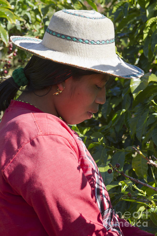 Central America Photograph - Coffee Harvest Time by Heiko Koehrer-Wagner