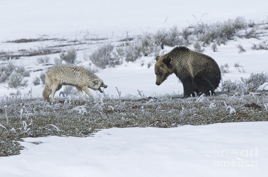 Wildlife Photograph - Confrontation In Hayden Valley by Bob Dowling