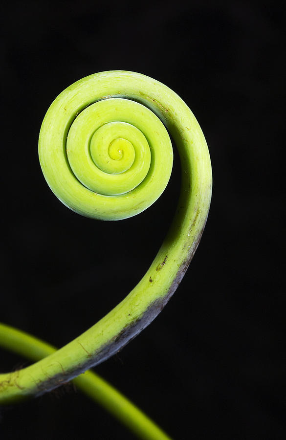 Coiled Vine Dominican Republic Photograph by Kevin Schafer