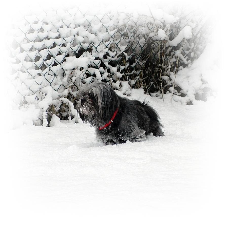 Shitzu Photograph - Cold Feet by Sharon Lisa Clarke