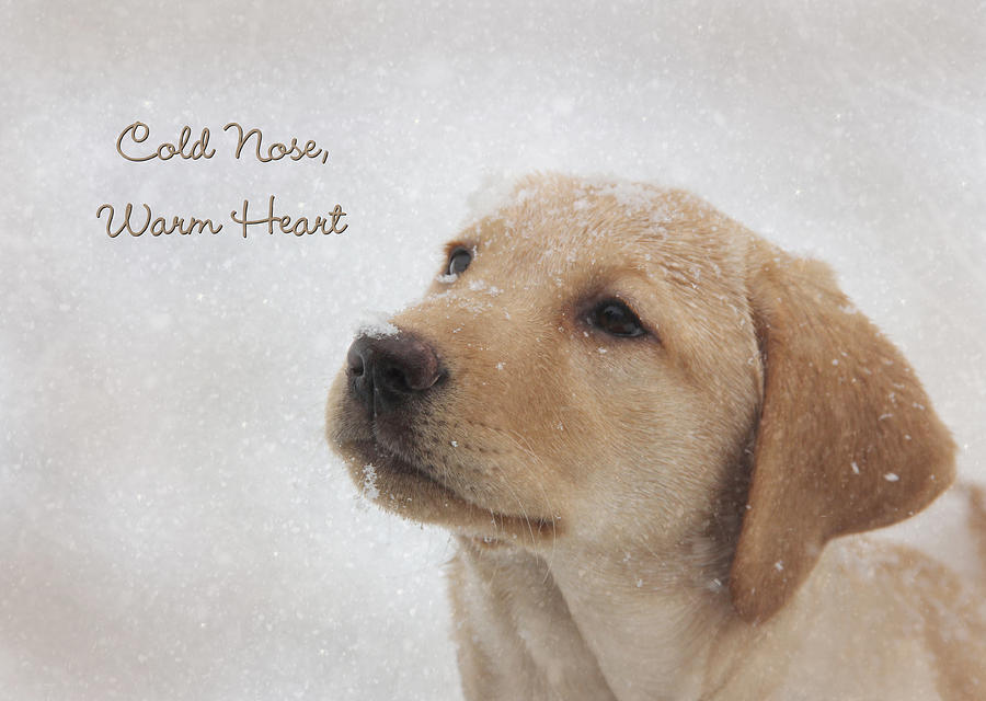 Yellow Lab Photograph - Cold Nose Warm Heart by Lori Deiter