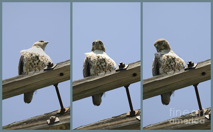 Hawk Photograph - Cold Stare by Luke Moore