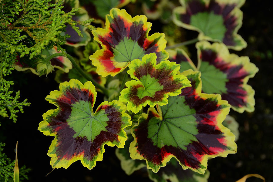 Seattle Photograph - Coleus by Richard Henne