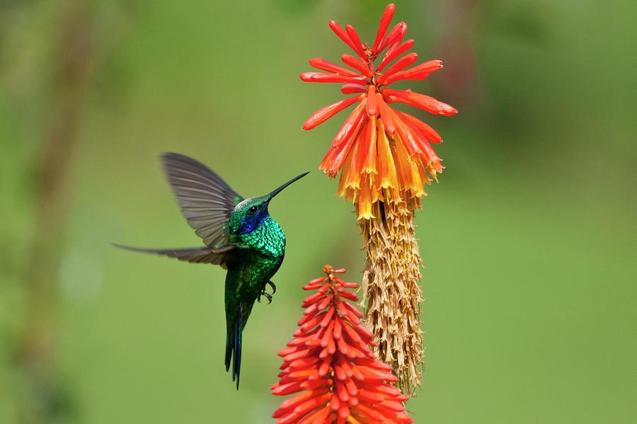 Colibri Coruscans Photograph by Photo By Priscilla Burcher