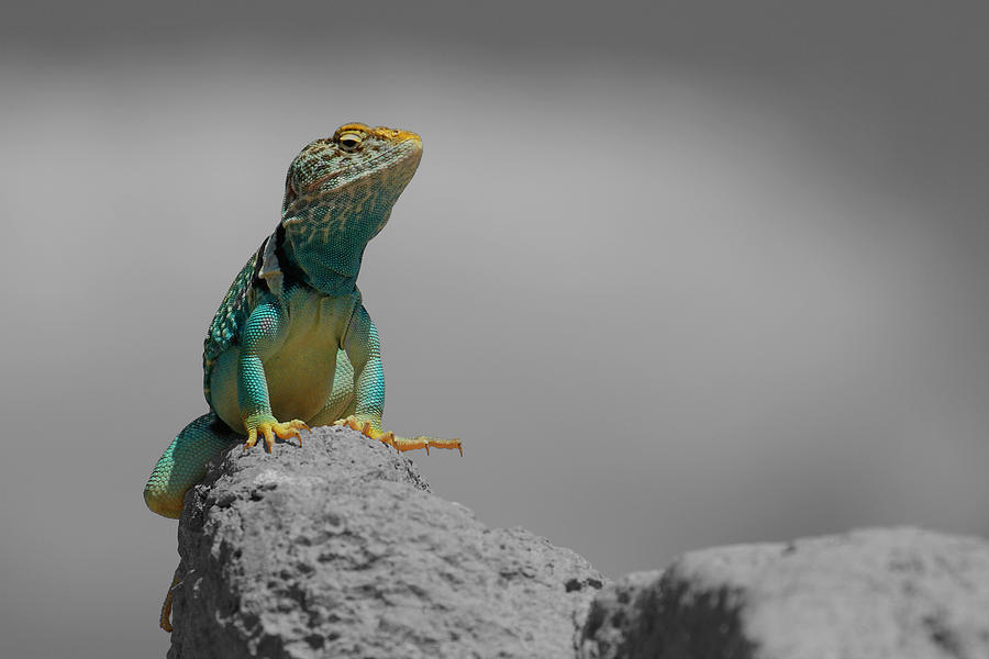 Collard Photograph - Collard Lizard by Old Pueblo Photography