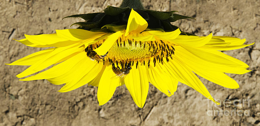 Sunflowers Photograph - Collecting In The Sun by John Debar
