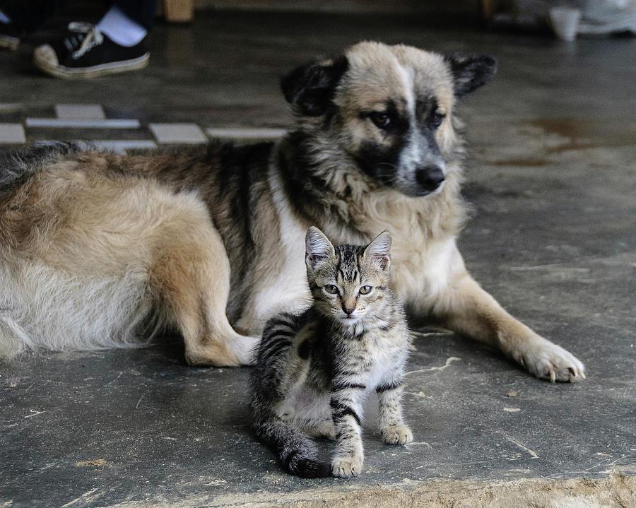 Adorable Photograph - Colombia, Minca Kitten And Dog by Matt Freedman