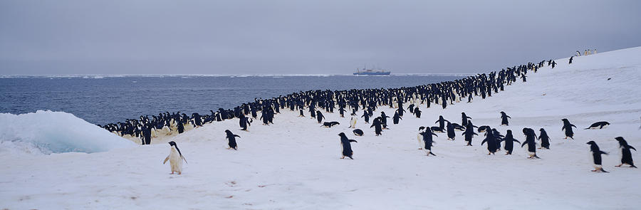 Horizontal Photograph - Colony Of Adelie Penguins Pygoscelis by Animal Images