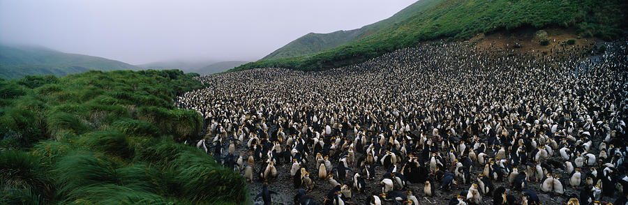 Horizontal Photograph - Colony Of Royal Penguin Eudyptes by Animal Images