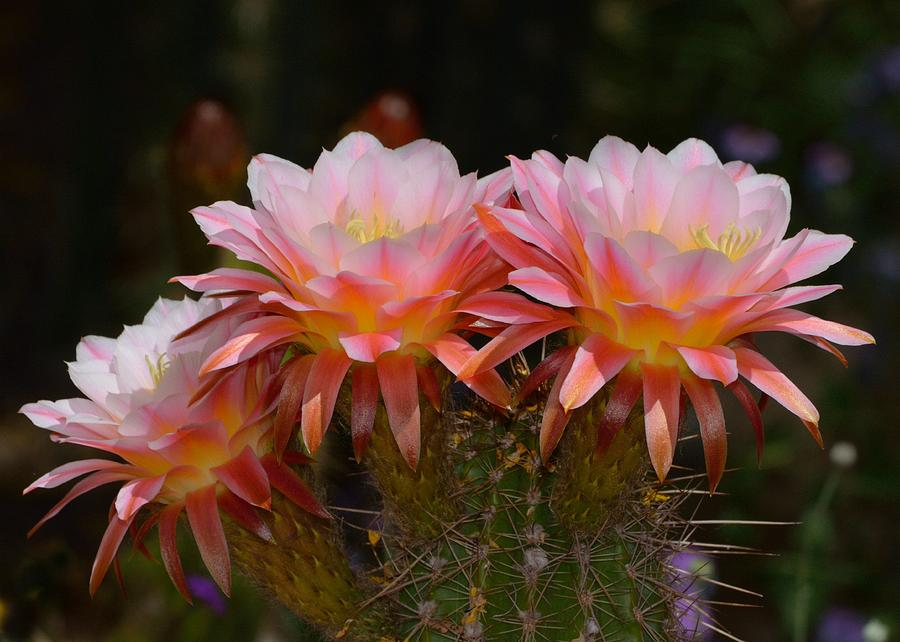 Cactus Photograph - Color Me Pink by Old Pueblo Photography
