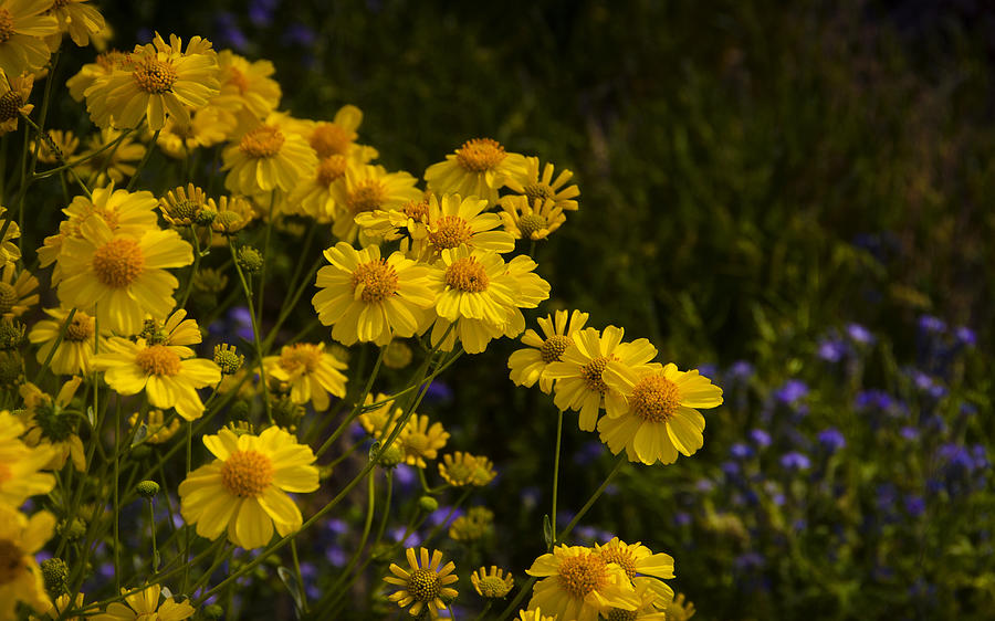Brittlebush Photograph - Color Me Yellow  by Saija  Lehtonen
