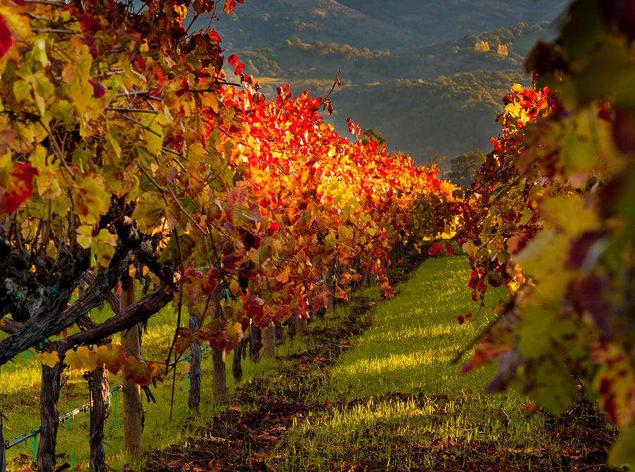 Napa Photograph - Color On The Vine by Bill Gallagher