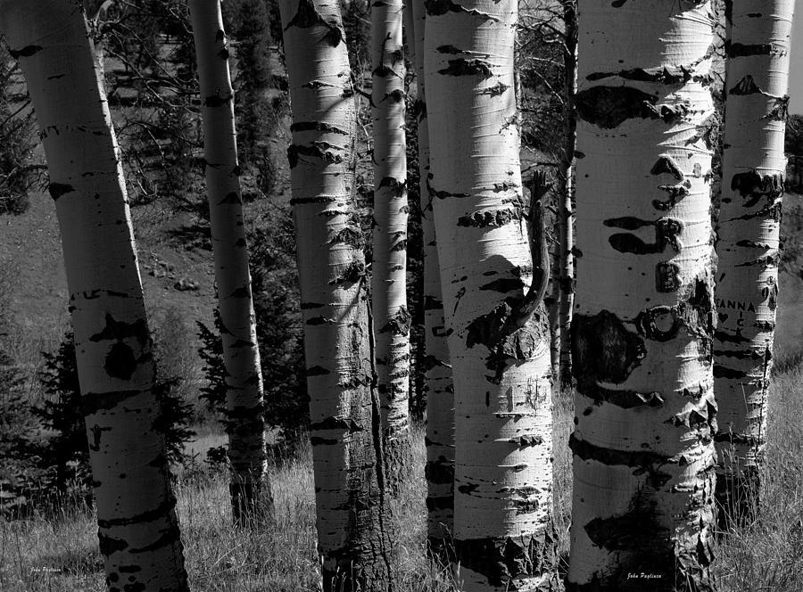 Colorado Aspen Grove II  by John Pagliuca