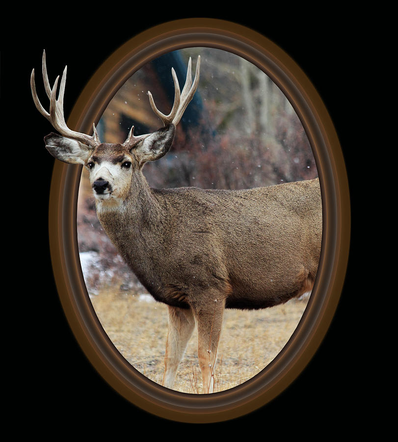 Colorado Muley Photograph by Shane Bechler