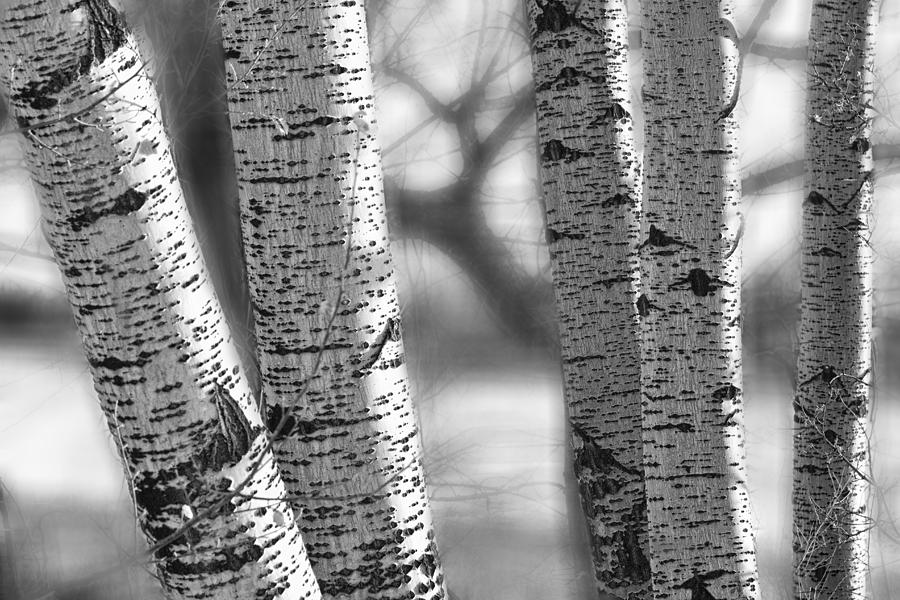 Birch Tree Photograph - Colorado White Birch Trees In Black And White by James BO Insogna