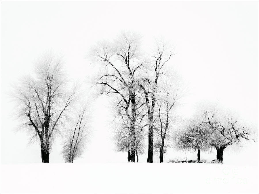 Frosted Trees 2 by Karla Weber
