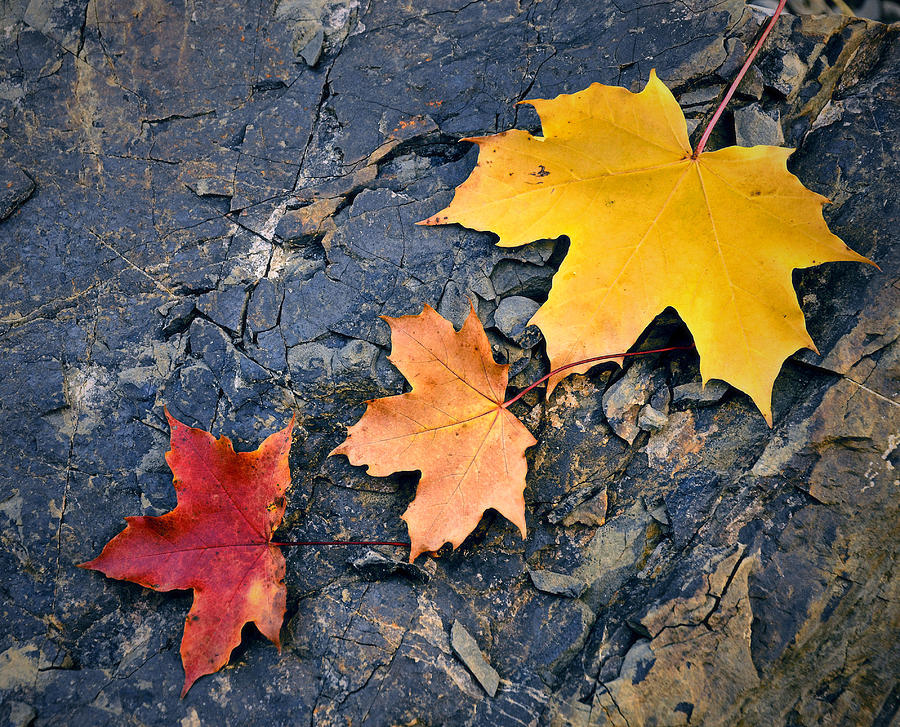 Outdoor Photograph - Colored Maple Leaf On Stone by Jozef Jankola