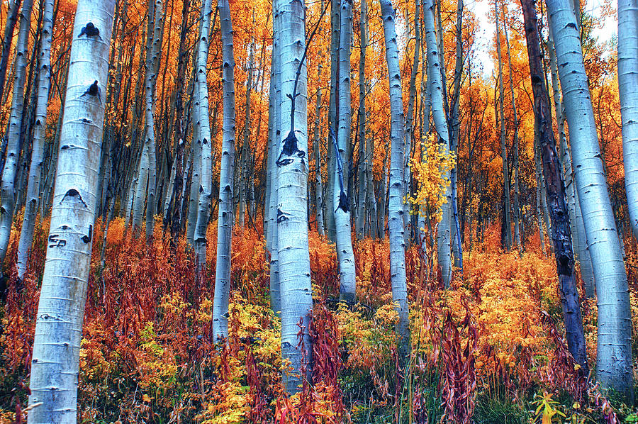Aspens Photograph - Colorful Aspens by Brian Kerls