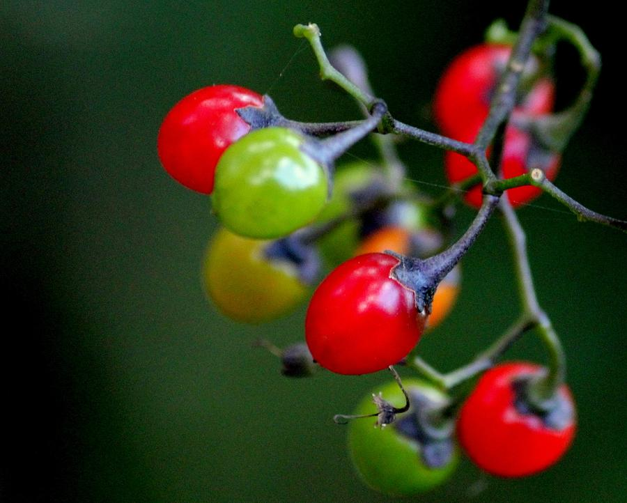 Berries Photograph - Colorful Berries by Rosanne Jordan