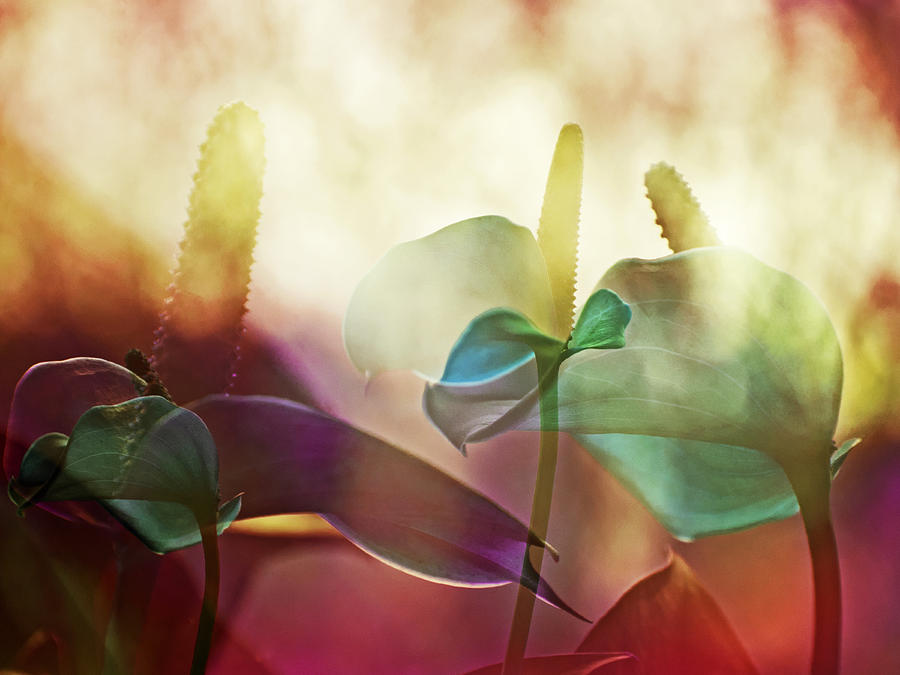 Summer Photograph - Colorful Calla by Eiwy Ahlund
