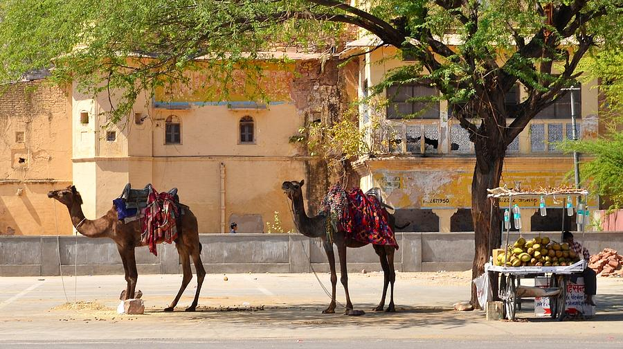 Camel Photograph - Colorful Camels - Jaipur India by Kim Bemis