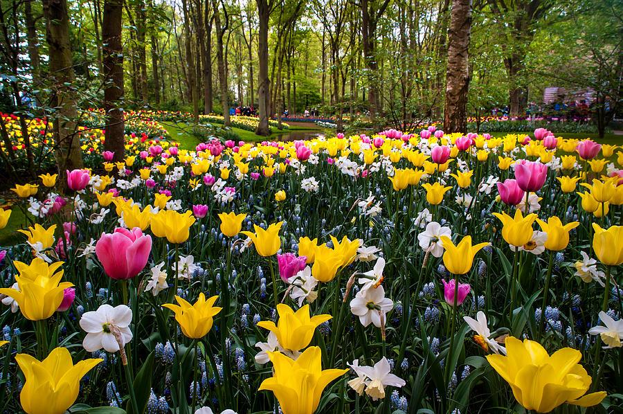 Keukenhof Photograph - Colorful Corner Of The Keukenhof Garden 1. Tulips Display. Netherlands by Jenny Rainbow