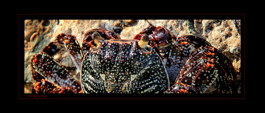 St Thomas Photograph - Colorful Crab by Lucy VanSwearingen