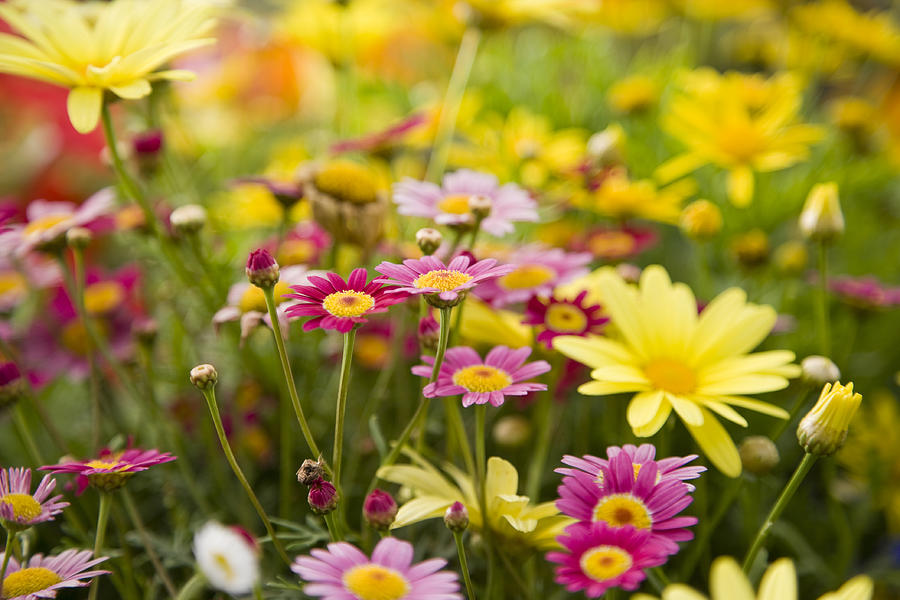Colorful daisies, focus on Madeira Deep Rose marguerite daisy Photograph by Kali9