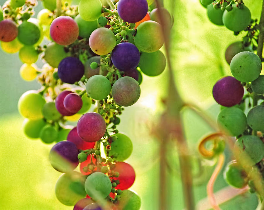 Grapes Photograph - Colorful Grapes by Peggy Collins