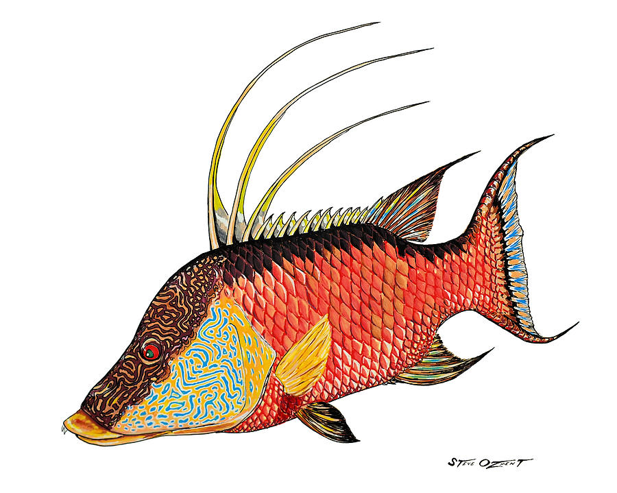 Colorful Hogfish by Steve Ozment
