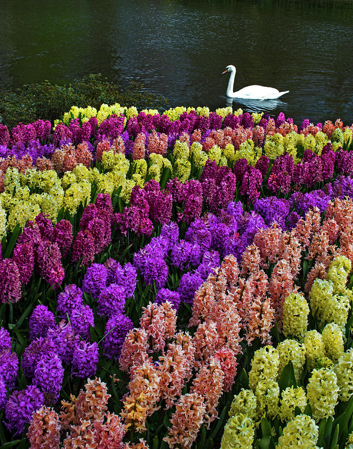 Colorful Hyacinths Announce Spring Photograph by Elfi Kluck