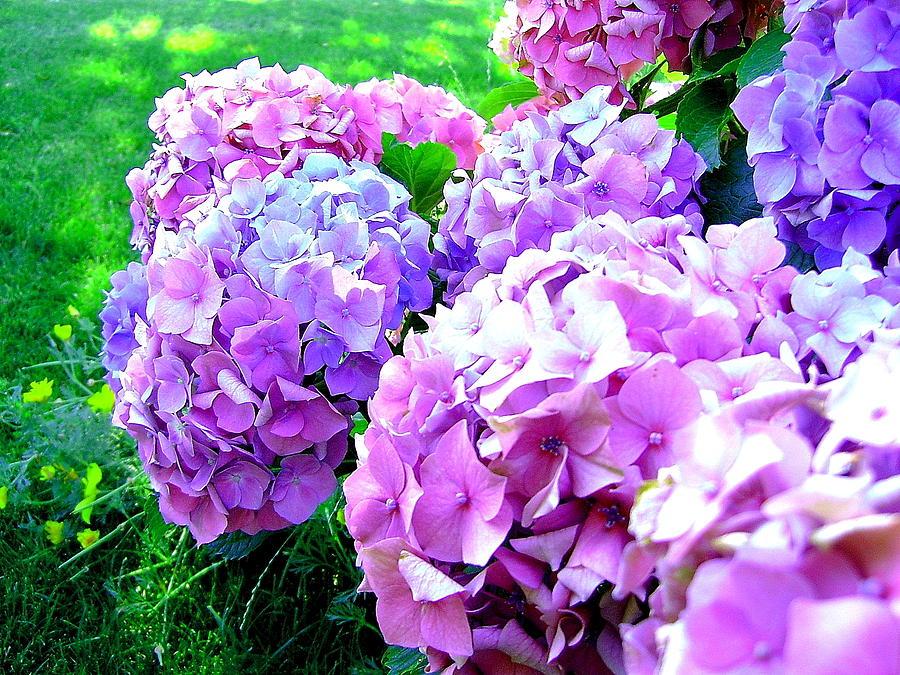 Hydrangeas Photograph - Colorful Hydrangeas by Mavis Reid Nugent