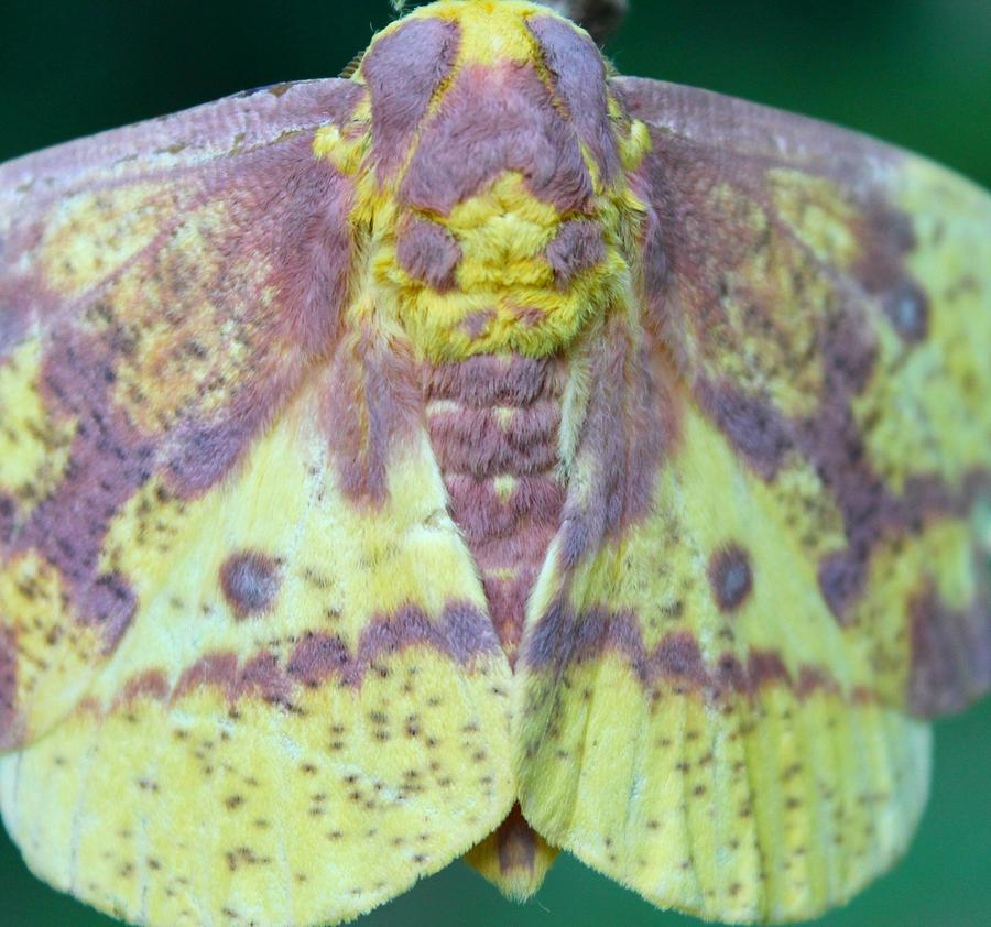 Moth Photograph - Colorful Imperial by Candice Trimble
