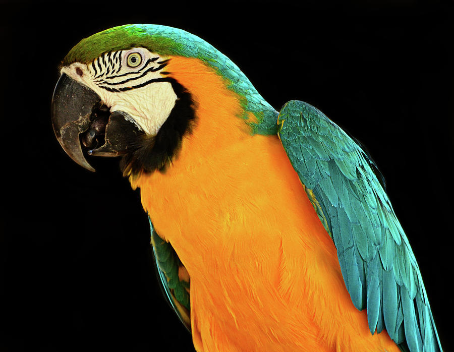 Macaw Photograph - Colorful Macaw Bird by Jeff R Clow