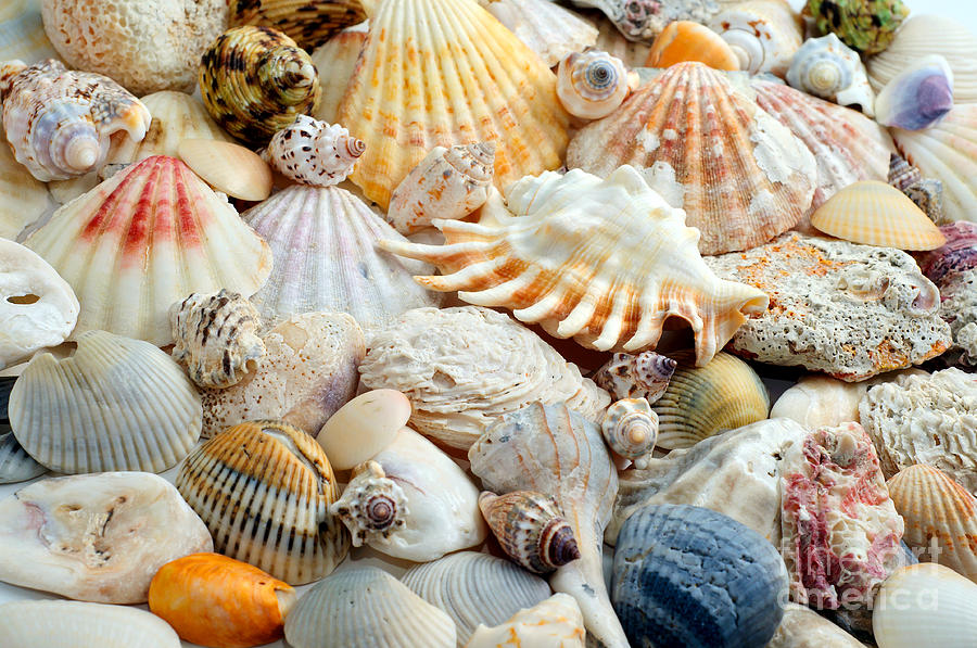 Colorful Ocean Seashells 2 Photograph By Andee Design