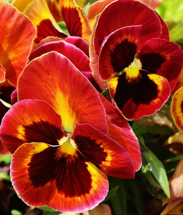 Flora Photograph - Colorful Pansies by Bruce Bley