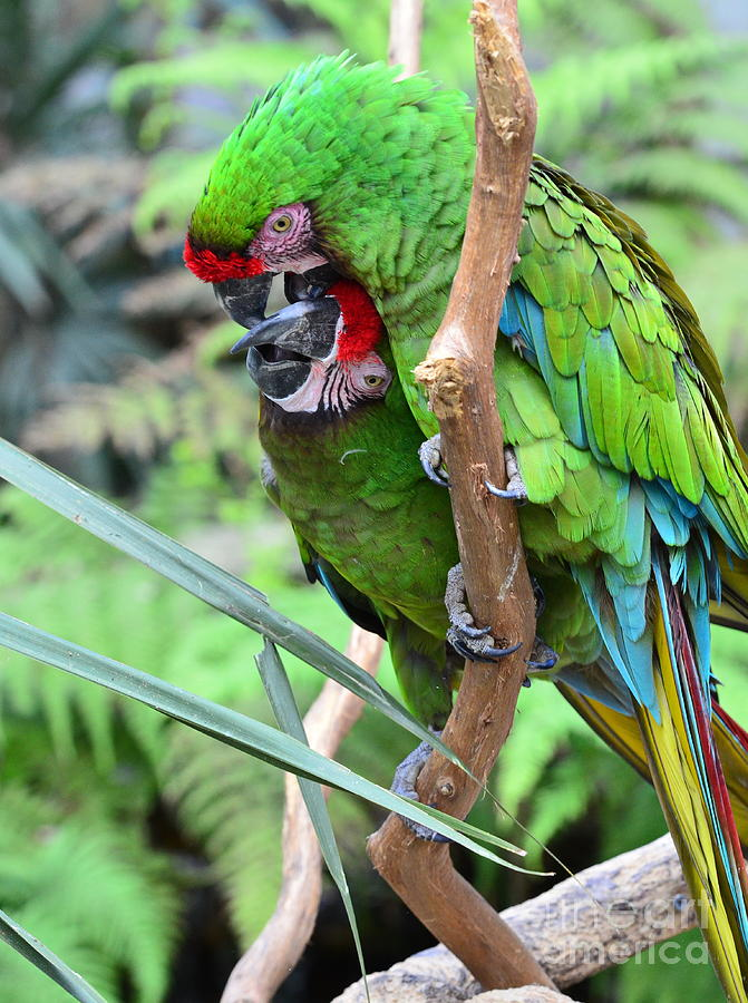 Colorful Parrot Friends Play and Groom Free by Wayne Nielsen