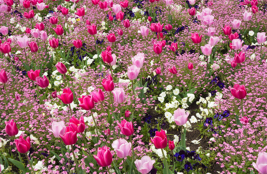 Colorful Pink Tulips And Other Flowers In Spring Photograph