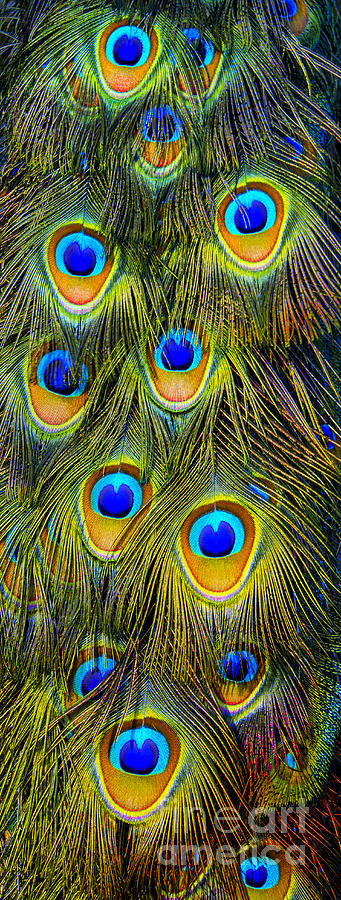 Peacock Photograph - Colorful Plumage Of Peacock by Lilianna Sokolowska