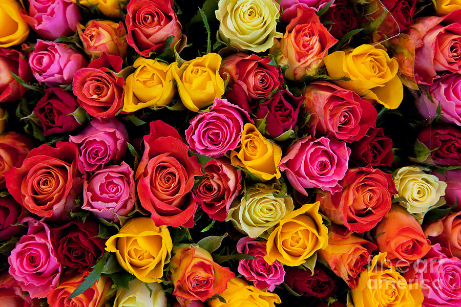 Colorful Roses Background Photograph By Michal Bednarek