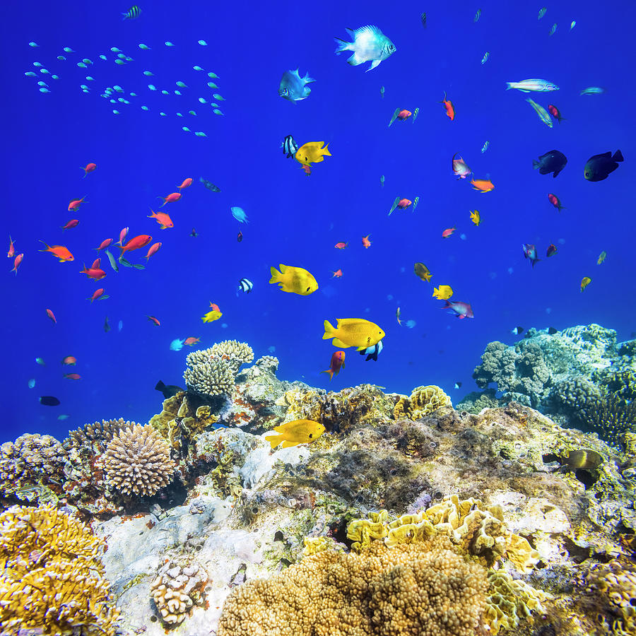 Colorful Tropical Fish On Red Sea Photograph by Cinoby