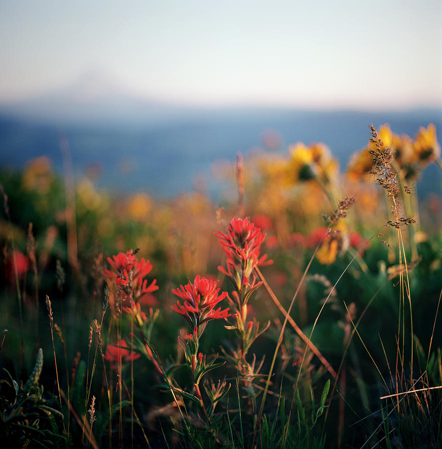 Colorful Wildflowers With Mountain In Photograph by Danielle D. Hughson