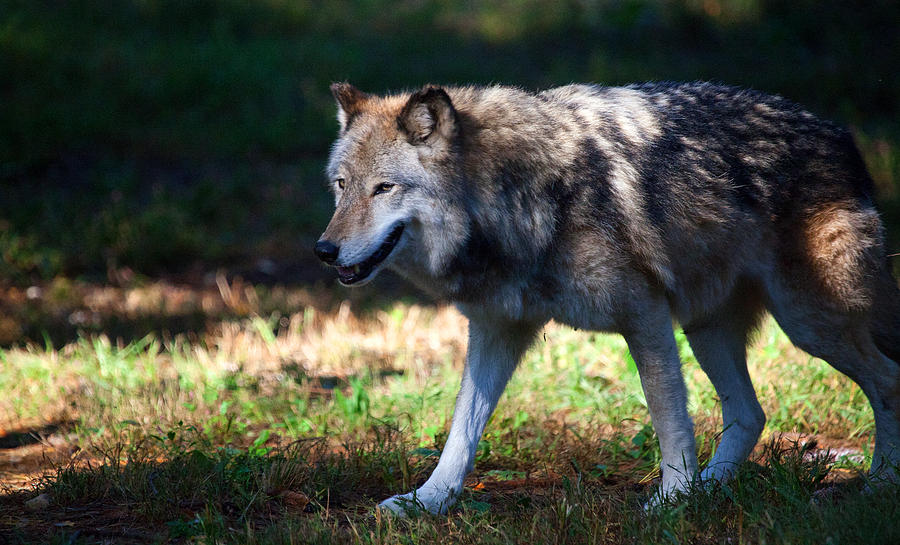 Wolf Photograph - Colorful Wolf by Karol Livote
