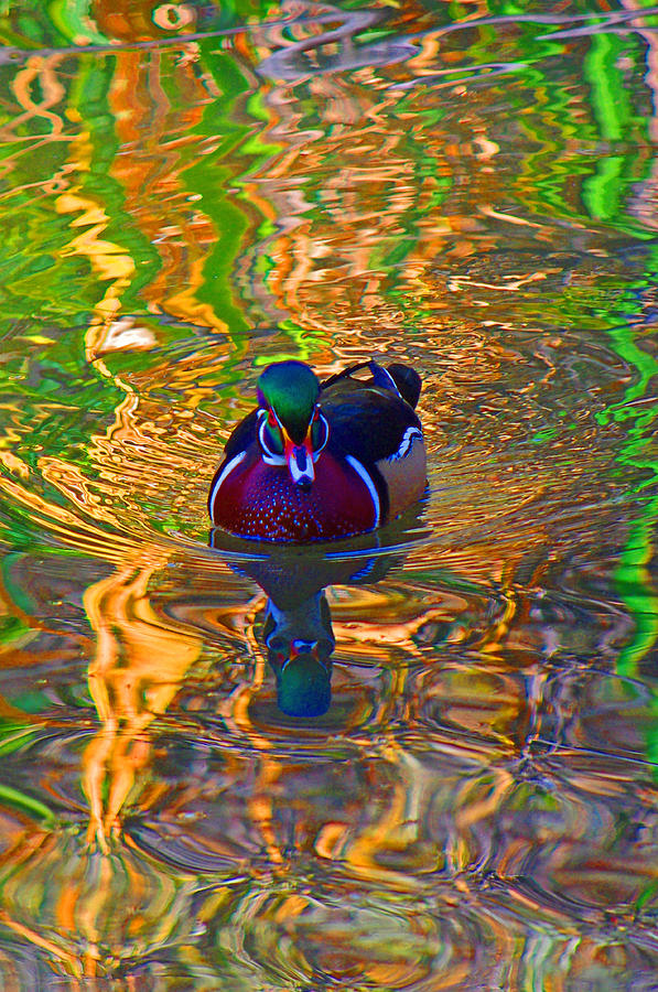 Colorful Photograph - Colorful World Of Wood Duck by Mike and Sharon Mathews