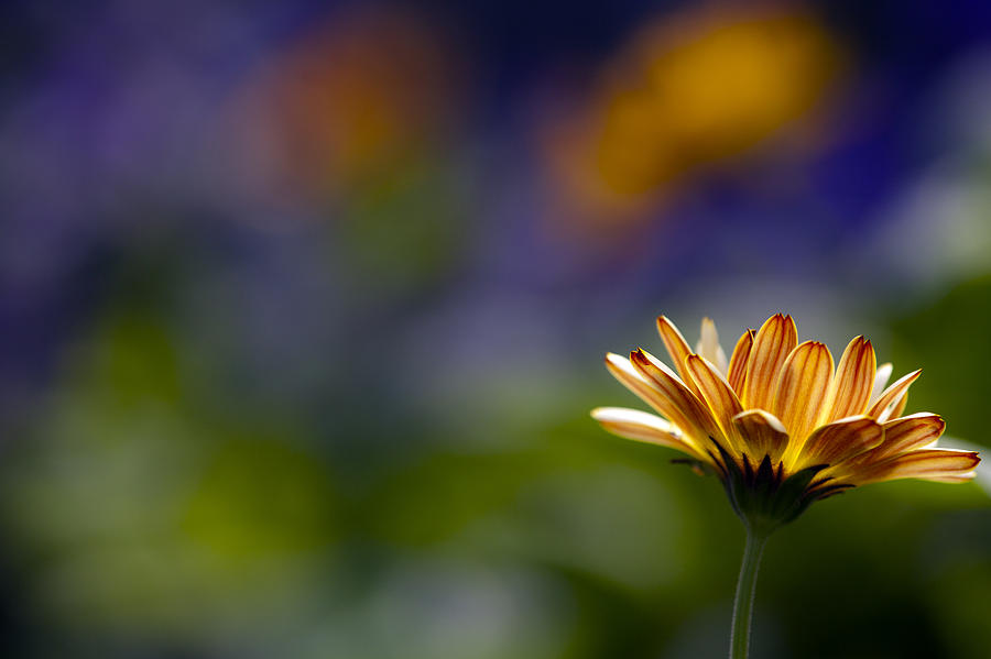Daisy Photograph - Colorfully Soft by Edward Kreis