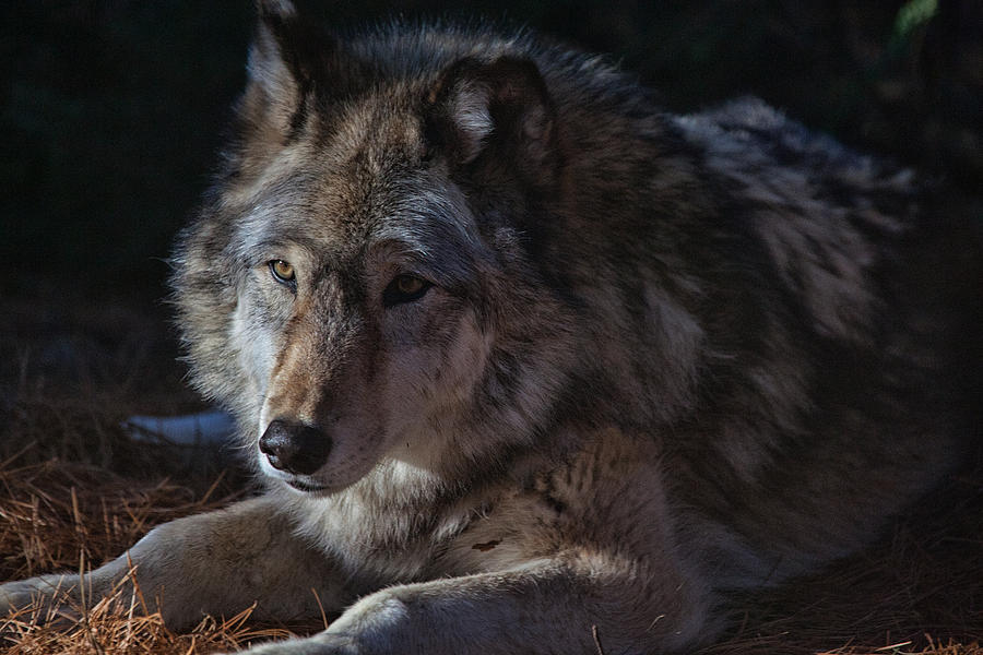 Wolf Photograph - Colors Of A Wolf by Karol Livote