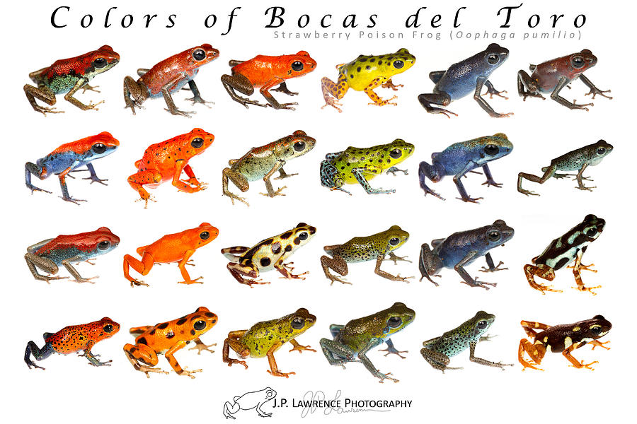 Oophaga Pumilio Photograph - Colors Of Bocas Del Toro by JP Lawrence