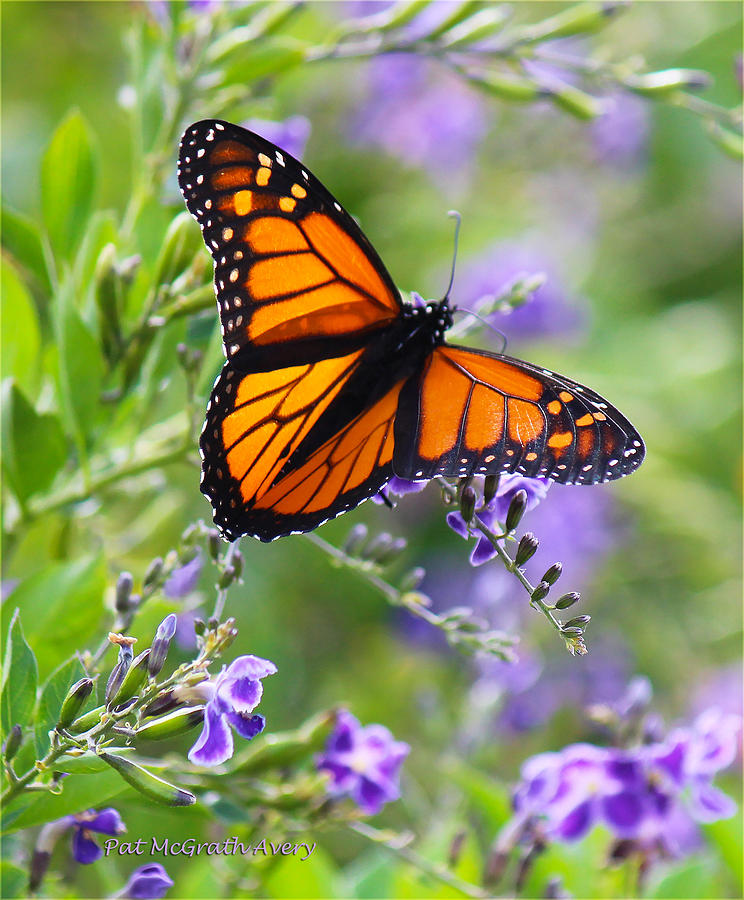 Butterfly Photograph - Colors Of Spring by Pat McGrath Avery